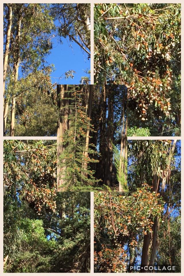 Collage of butterflies at the Pismo Beach Monarch Butterfly Grove in San Luis Obispo County California.