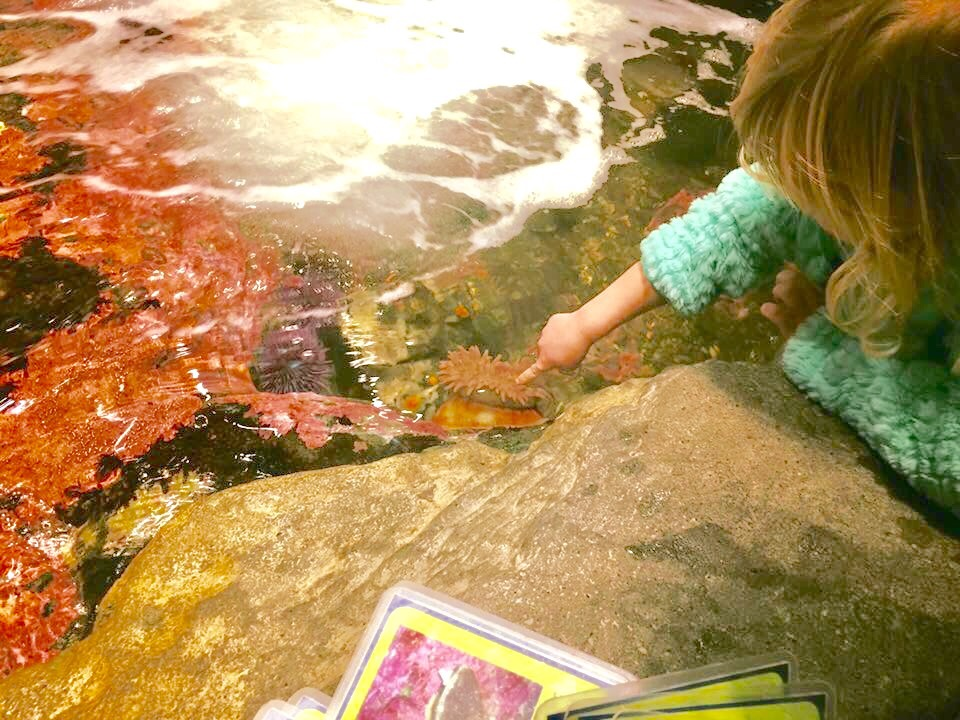 Toddler touches sea critters in the colorful Seattle Aquarium touch tanks.