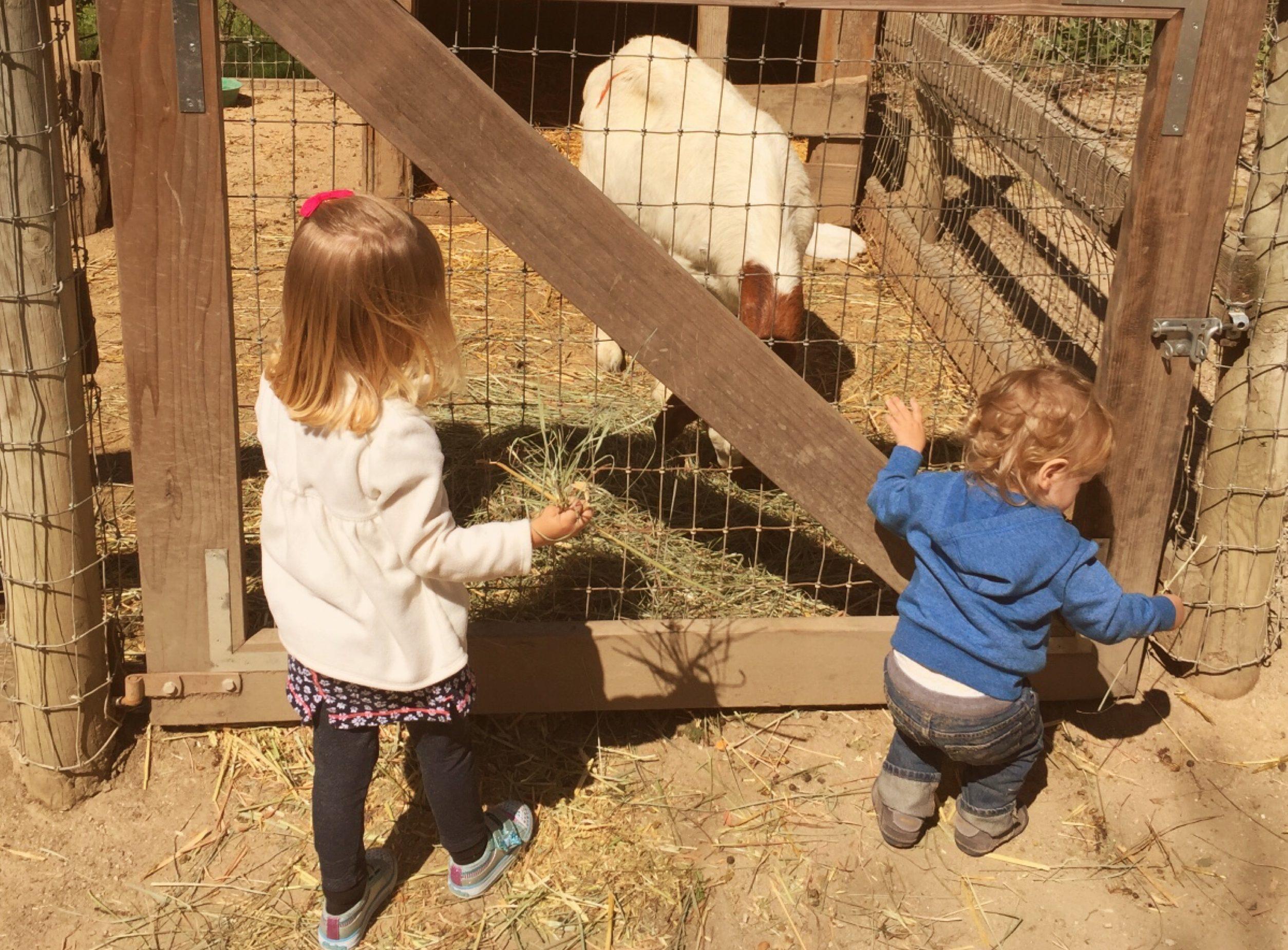 Avila Valley Barn Baby Goats