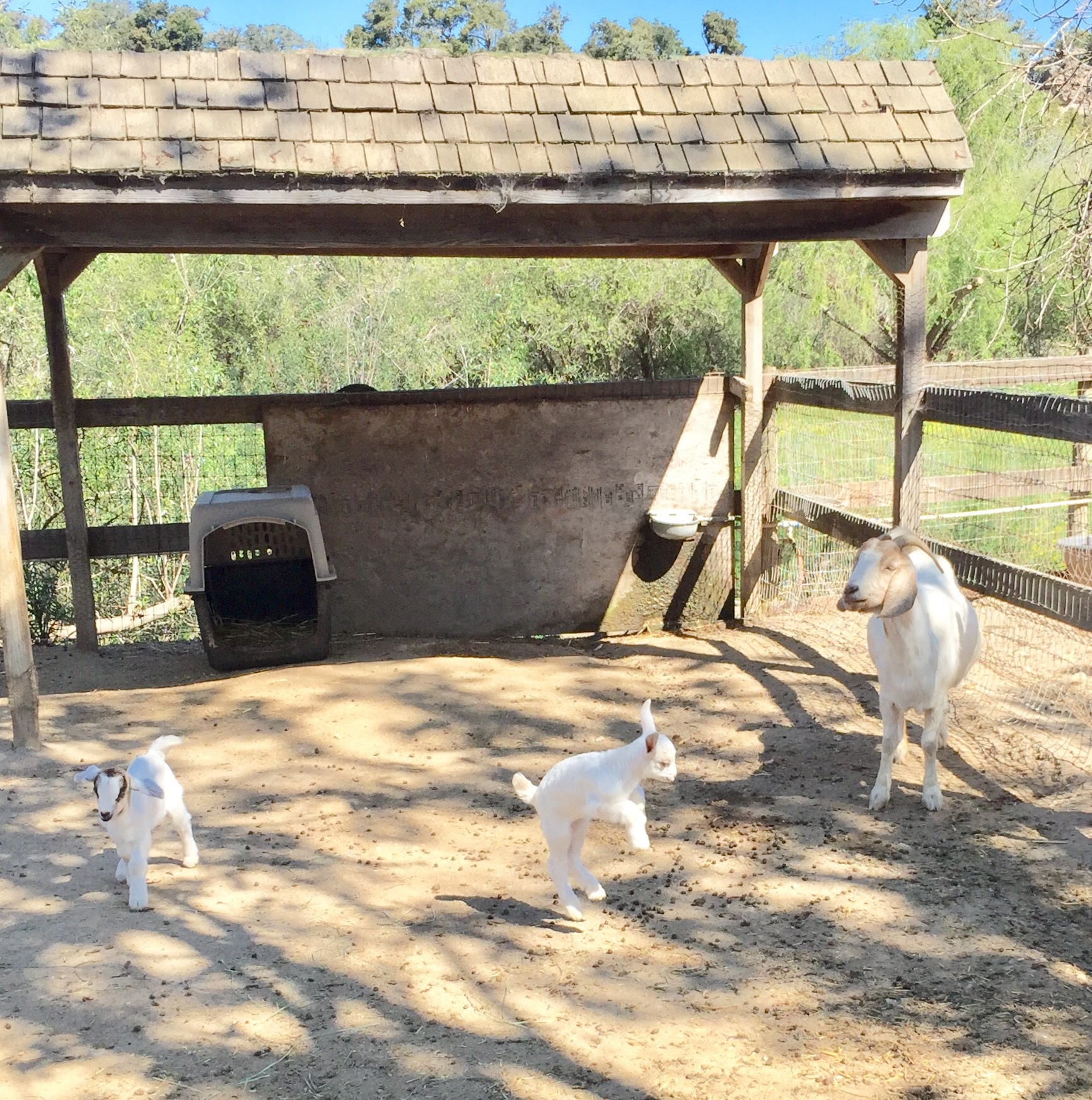 White mama goat and her two babies inside their pen at Avila Valley Barn in San Luis Obispo.