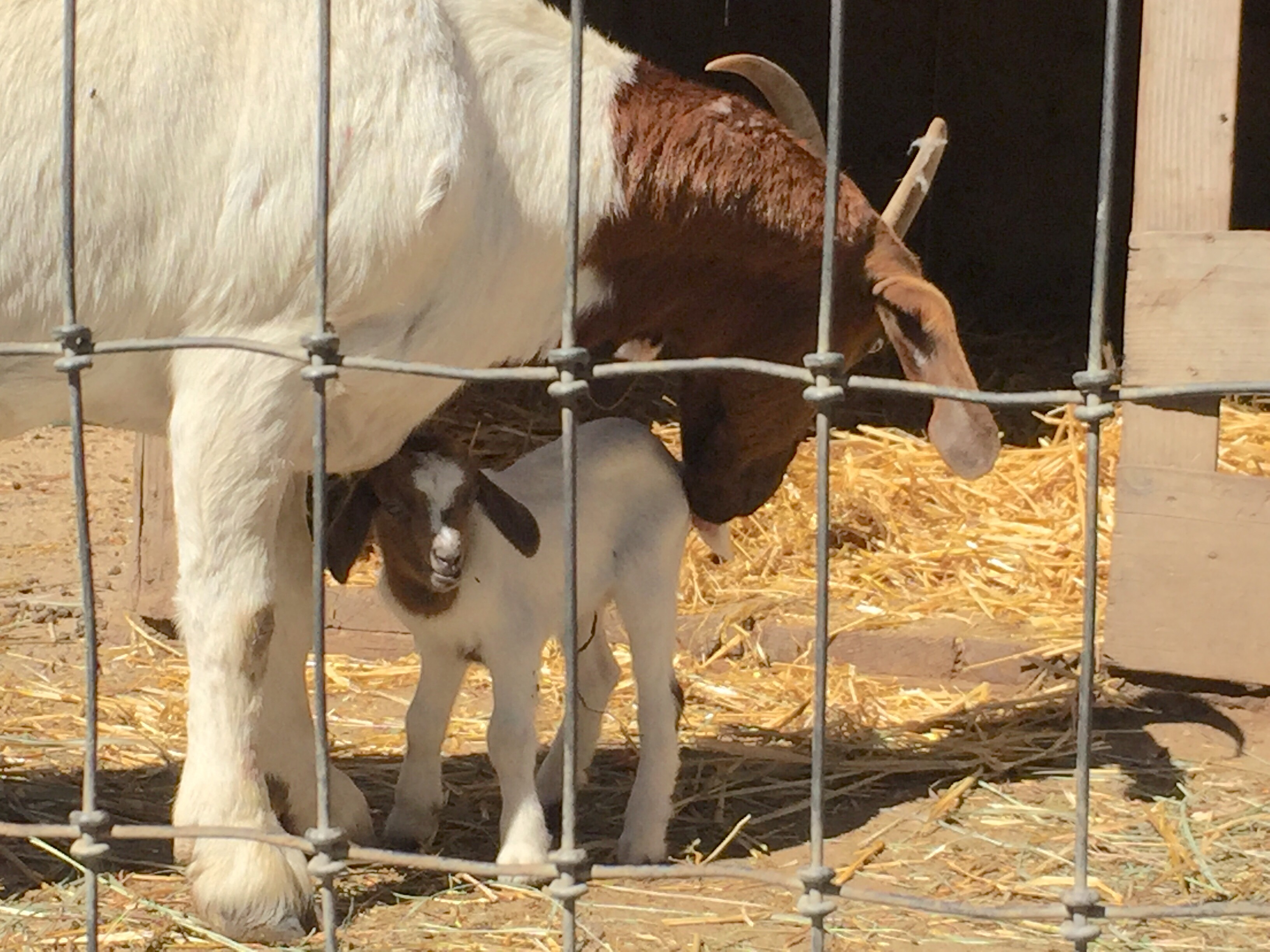 Newborn baby goat nuzzles with its mother at Avila Valley Barn in San Luis Obispo.
