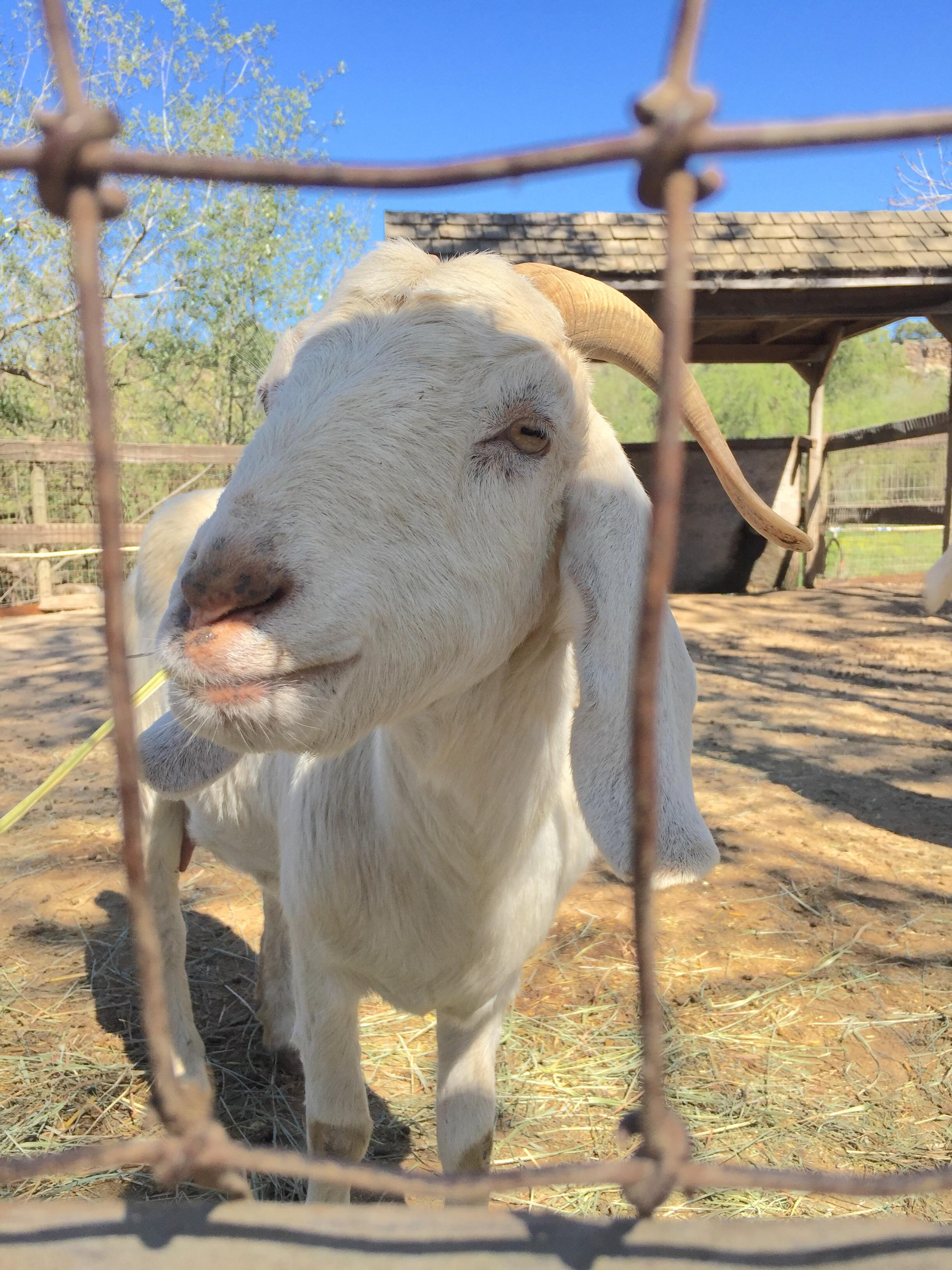 Closeup shot of a white mama goat at Avila Valley Barn in San Luis Obispo.