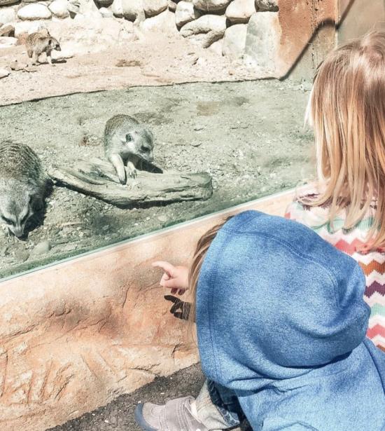 Atascadero Zoo Meerkats